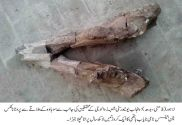 PU researchers find 13m-year-old lower elephant tusk