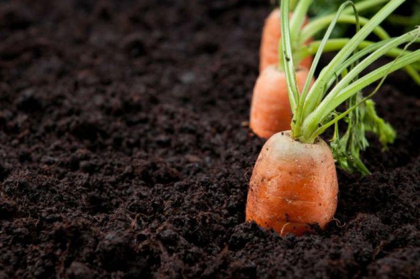 Como-cultivar-zanahorias-en-casa-1