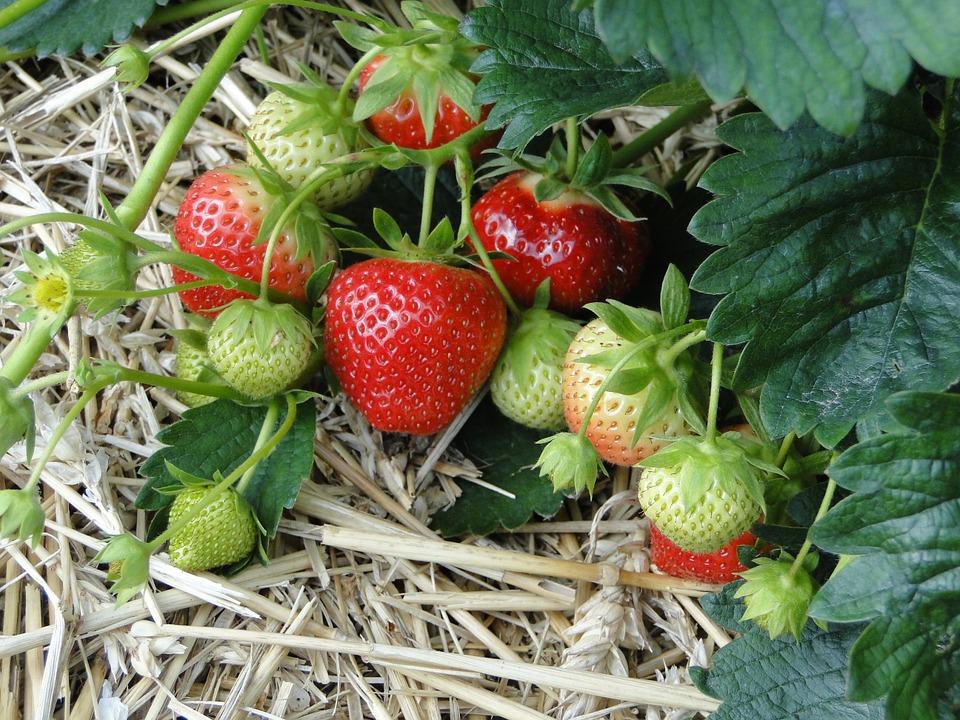 Como plantar fresas en casa for Como iniciar un vivero en casa