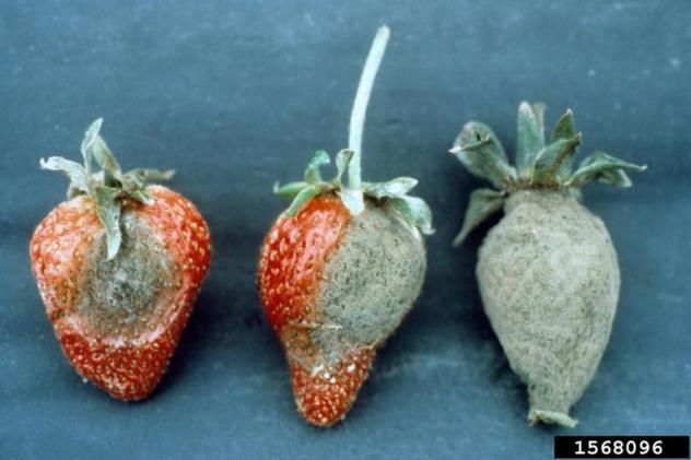 podredumbre gris fresas