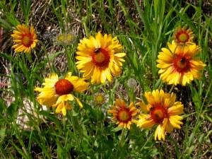 Gaillardia aristata flowers