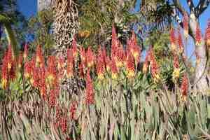 Aloe 'Vulcan's Fire'