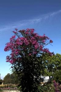 Vernonia gigantea Purple Pillar 5962