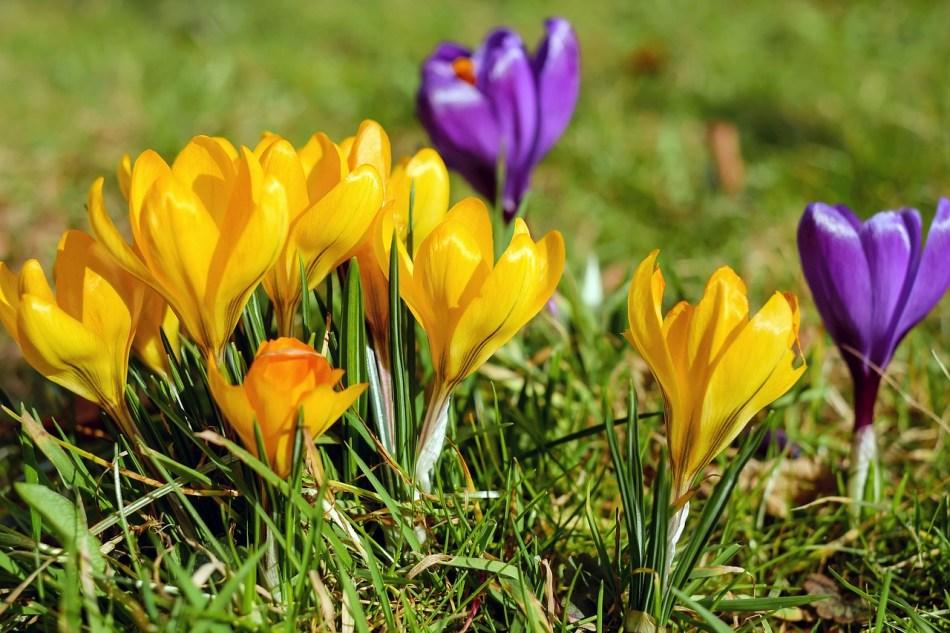 Flowers Crocus Spring Meadow Violet Bloom Yellow