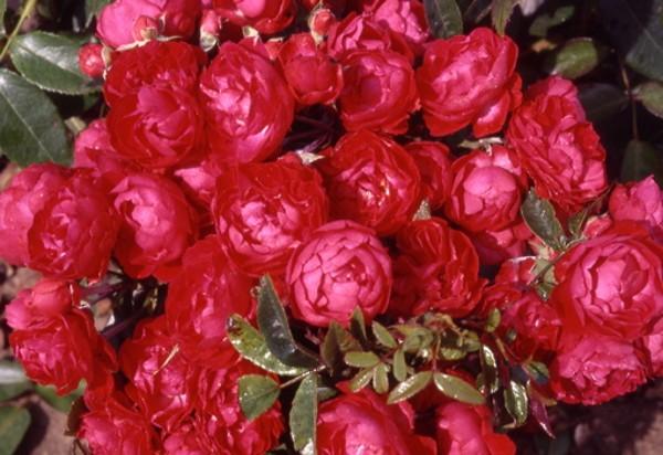 20170514C Rose Petals Nursery