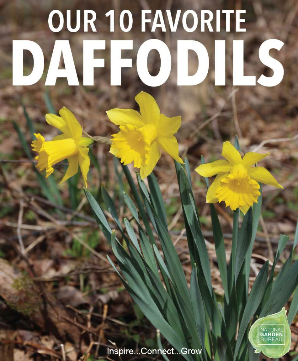 10-Favorite-Daffodils-NGB1.jpg
