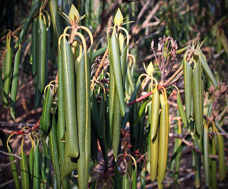 20180211C rhododendron hiver www.indefenseofplants.com.jpg