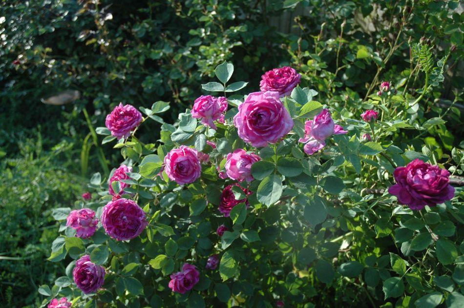 20180723E Reine des Violettes, pinterest.fr.jpg