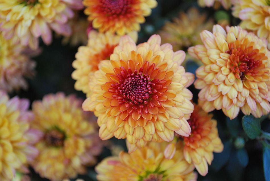Fall perennial Hardy mum Chrysanthemum × morifolium Tigertail