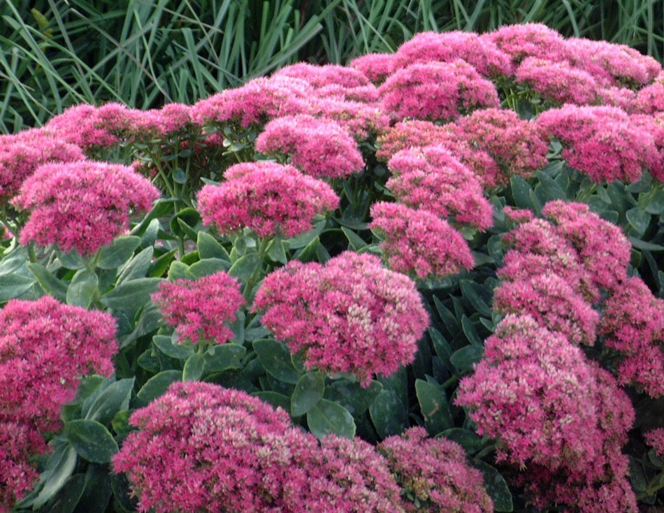 Fall perennial Hylotelephium spectabile 'Neon'