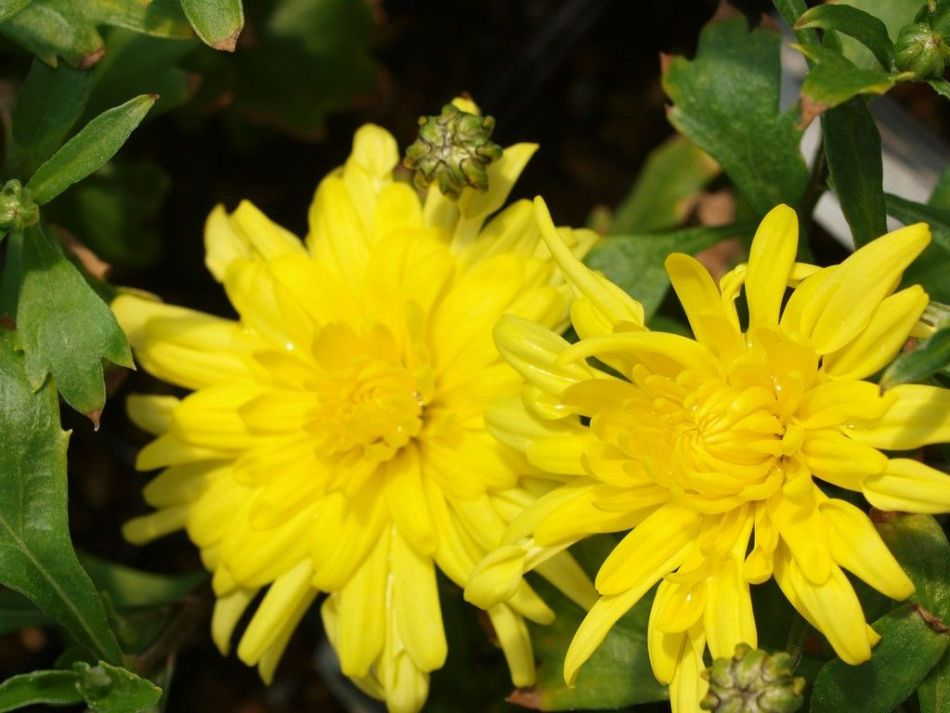 Chrysanthemum Morden Canary, double yellow pompom