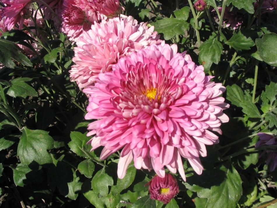 Chrysanthemum 'Dreamweaver', Double pink flower, green leaves