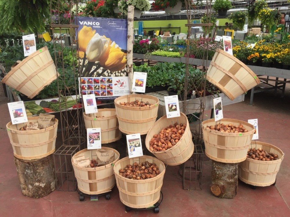 Loose tulip bulbs in baskets in a garden center.