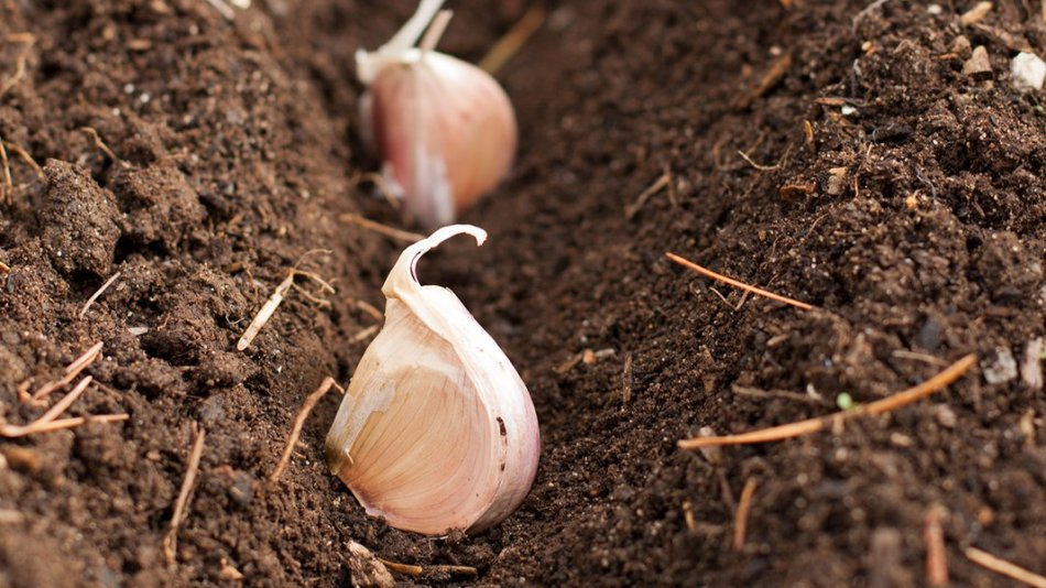 Planting trench in brown soil showing garlic cloves pointing upwrards, ready to be covered with soil