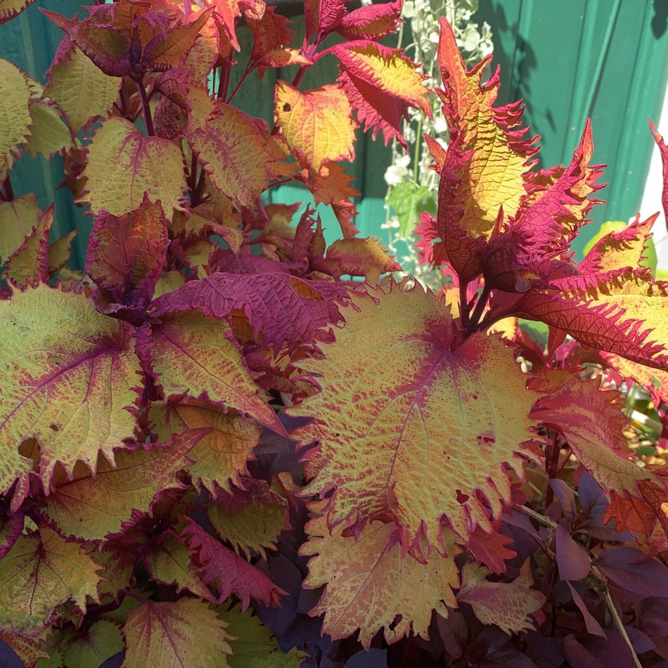Coleus 'Henna' with cut-edge leaves, red underneath, golden above.