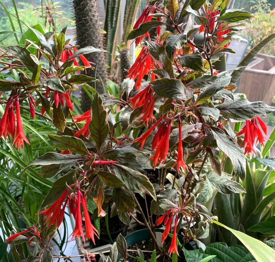 Fuchsia triphylla 'Firecracker', coral pink dangling flowers, variegated leaves.
