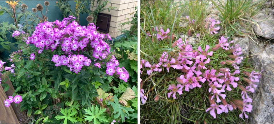 Two plants with pink flowers: garden phlox (Phlox paniculata) and carpet-forming Saponaria caespitosa
