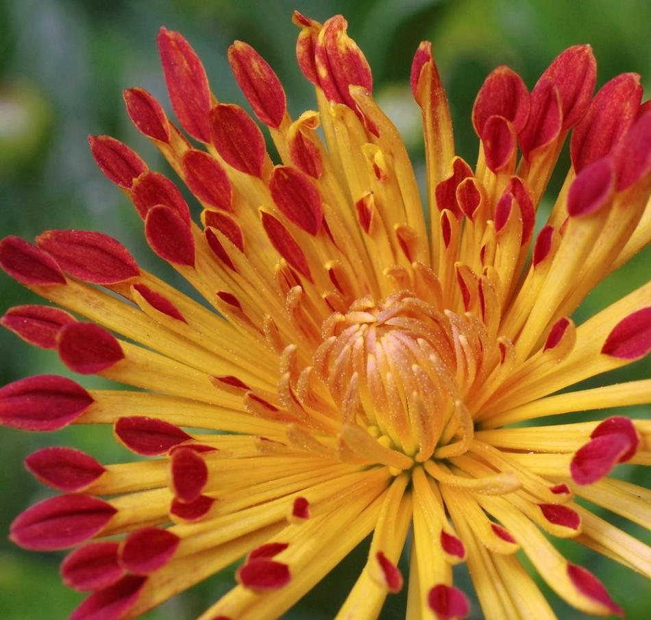 Chrysanthemum 'Matchsticks', double flower, quill-shaped petals, yellow at the base and maroon red at the tips.