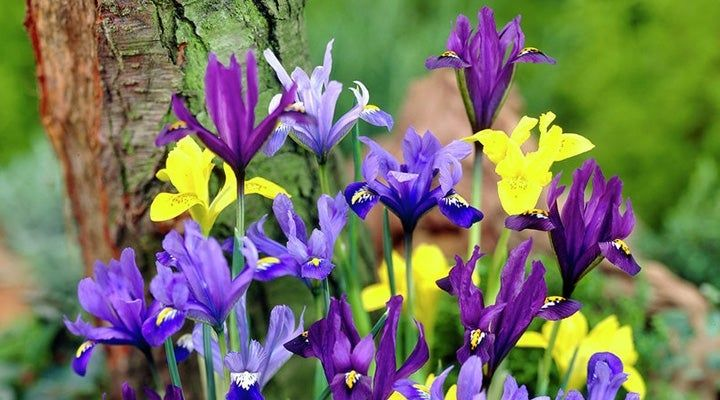 Iris reticulata mixed colors: blue, purple and yellow