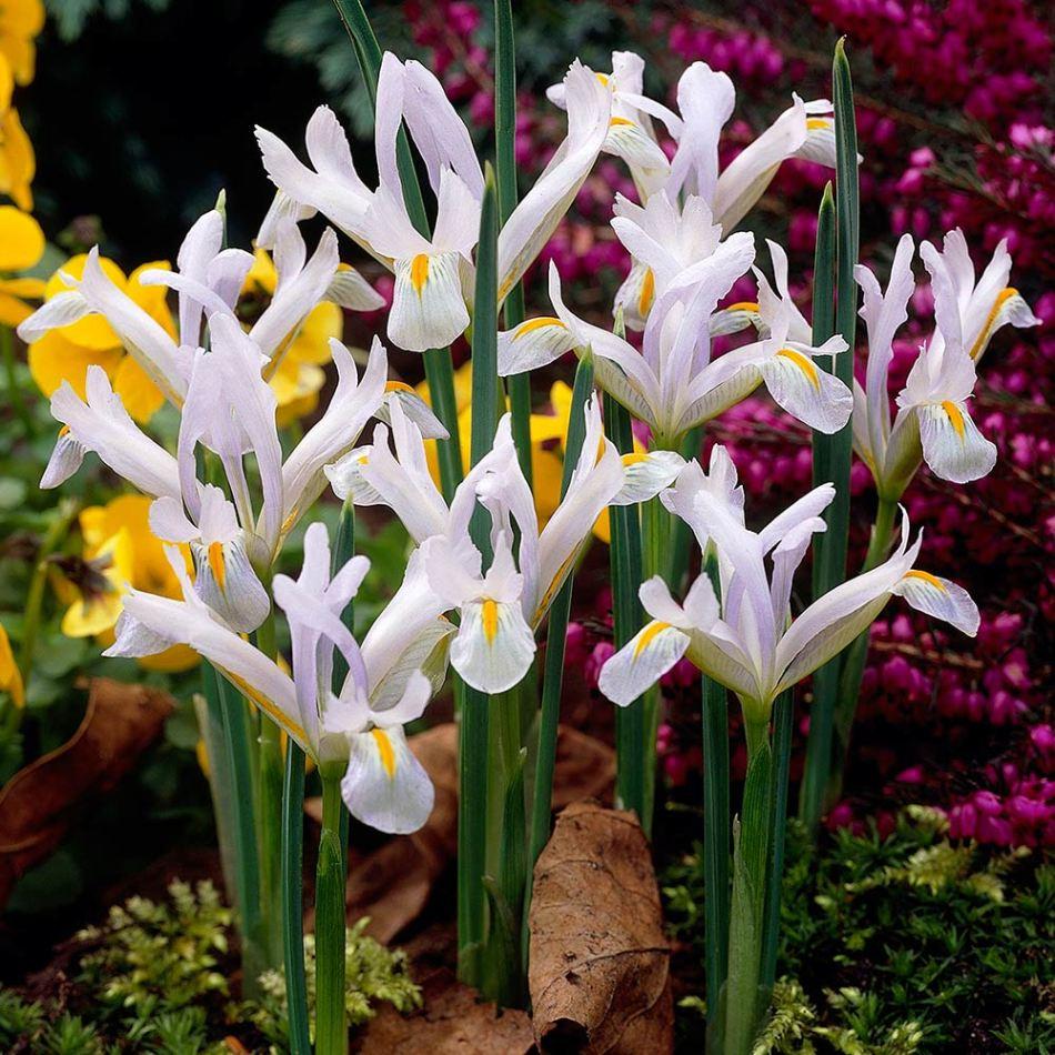 Iris reticulata 'Natascha', many flowers, palest blue, almost white, with orange mark.