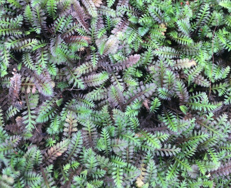 Fern-like green and black leaves of Brass buttons (Leptinella squalida 'Platts Black').