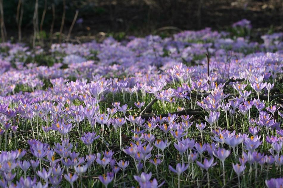 woodland crocuses (Crocus tommasianus) naturalized in a lawn