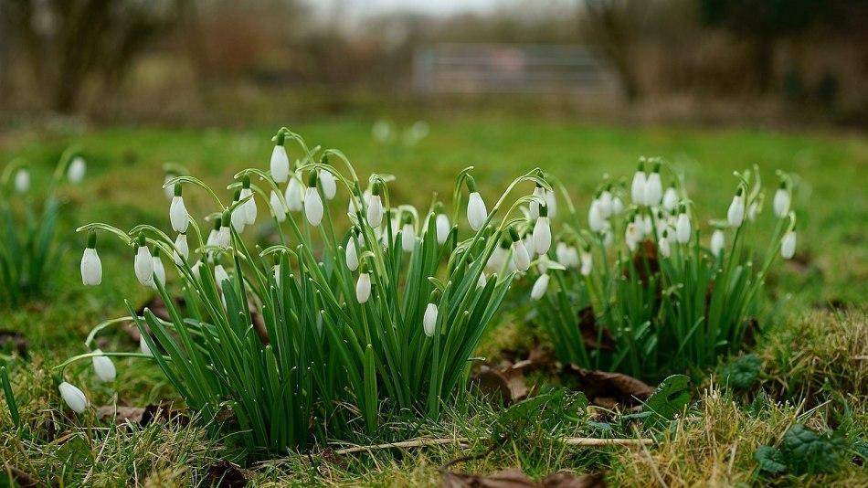 Snowdrops in a lawn