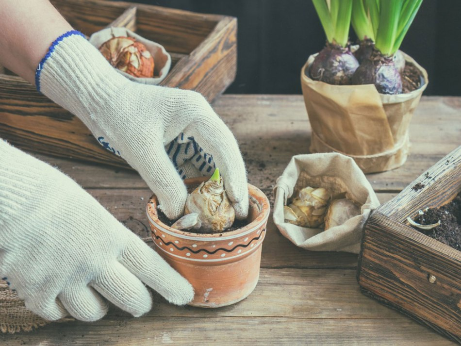 Wearing gloves while handling hyacinth bulbs