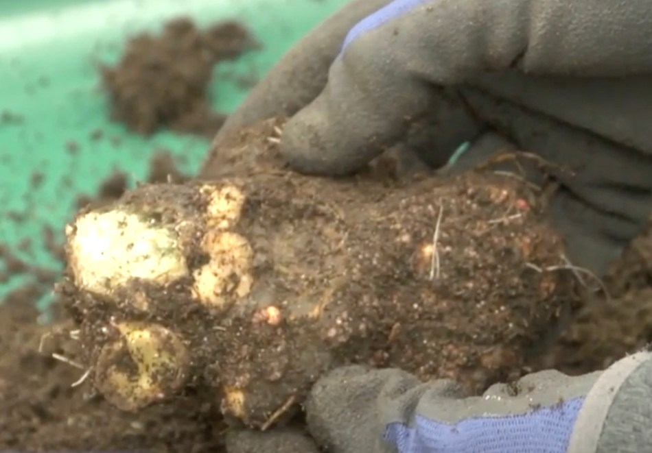 Begonia tuber roughly cleaned of dirt.