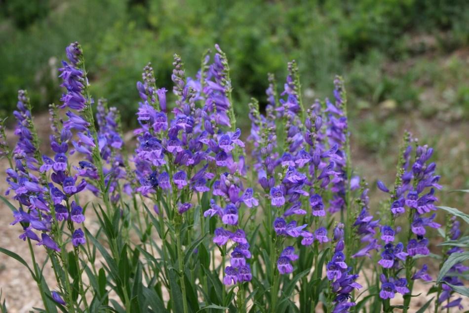 Penstemon strictus in flower