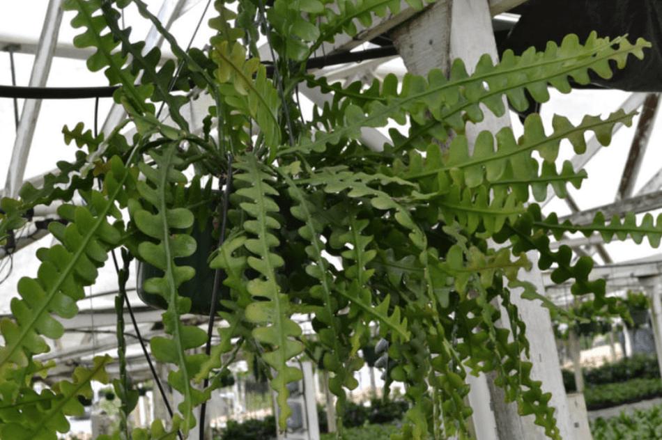 Zigzag cactus in a hanging basket