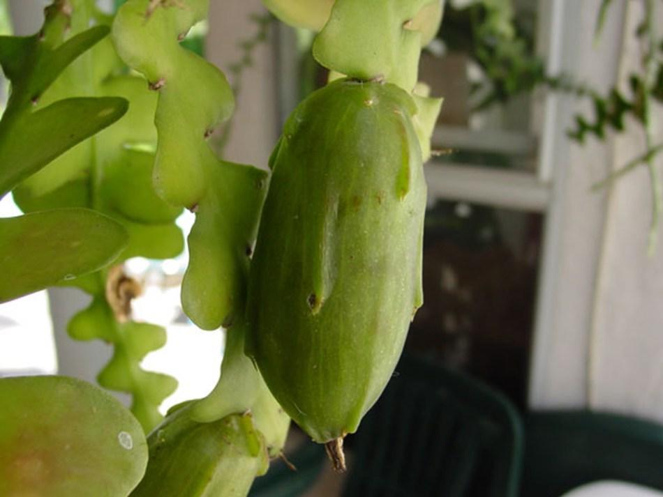 Zigzag cactus fruit on the plant