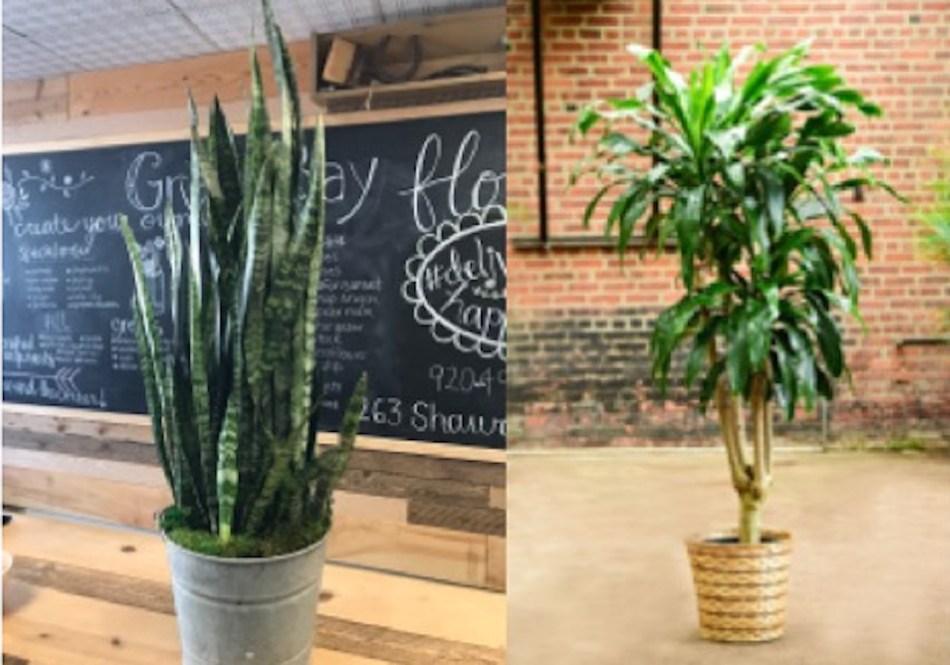 Side by side photos of Sansevieria trifasciata and Dracaena fragrant