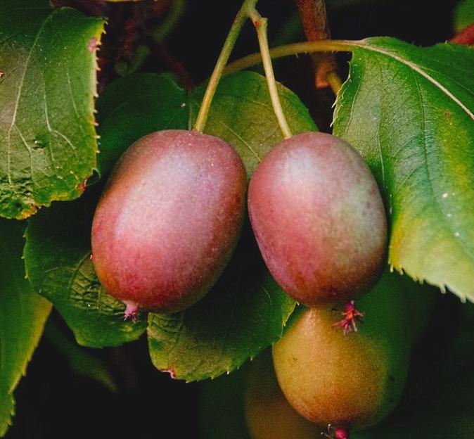 Geneva hardy kiwi showing reddish fruits