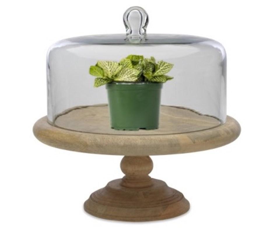 Fittonia under a cake dome.