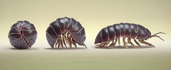 Woodlouse rolled in a ball, then partly open, then fully open.