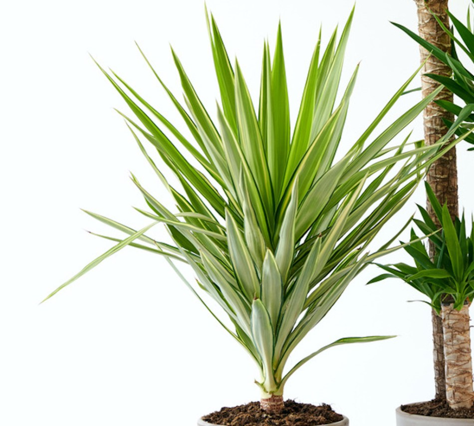 Yucca gigantea 'Jewel' with variegated leaves.