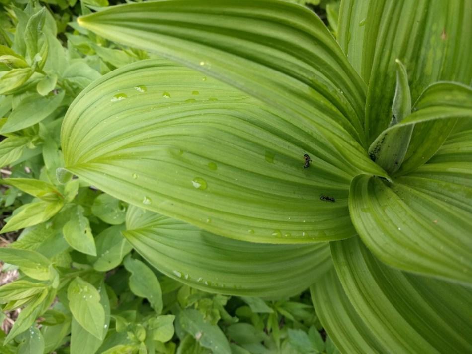 Veratrum viride with pleated leaves