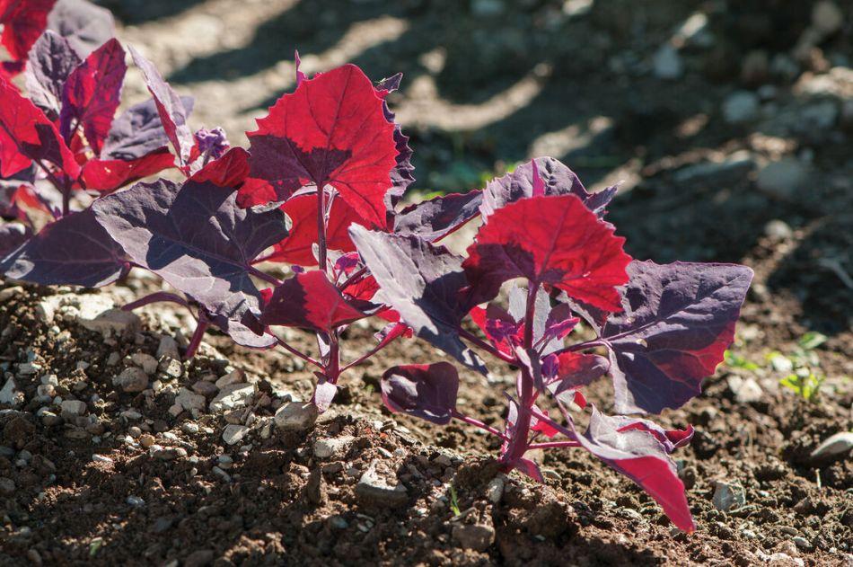 Red-leaved orach seedlings.