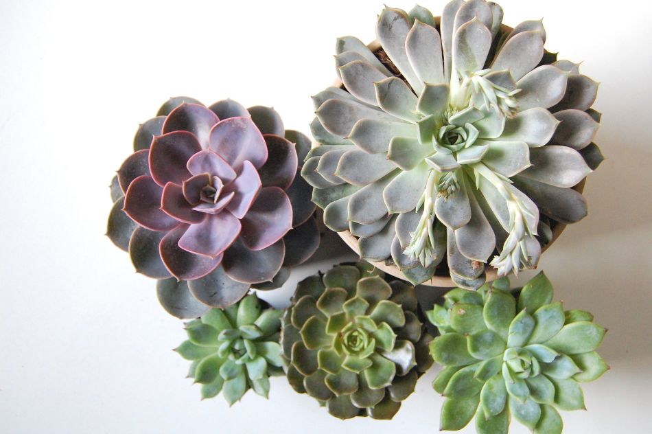Various echeverias with compact rosettes.