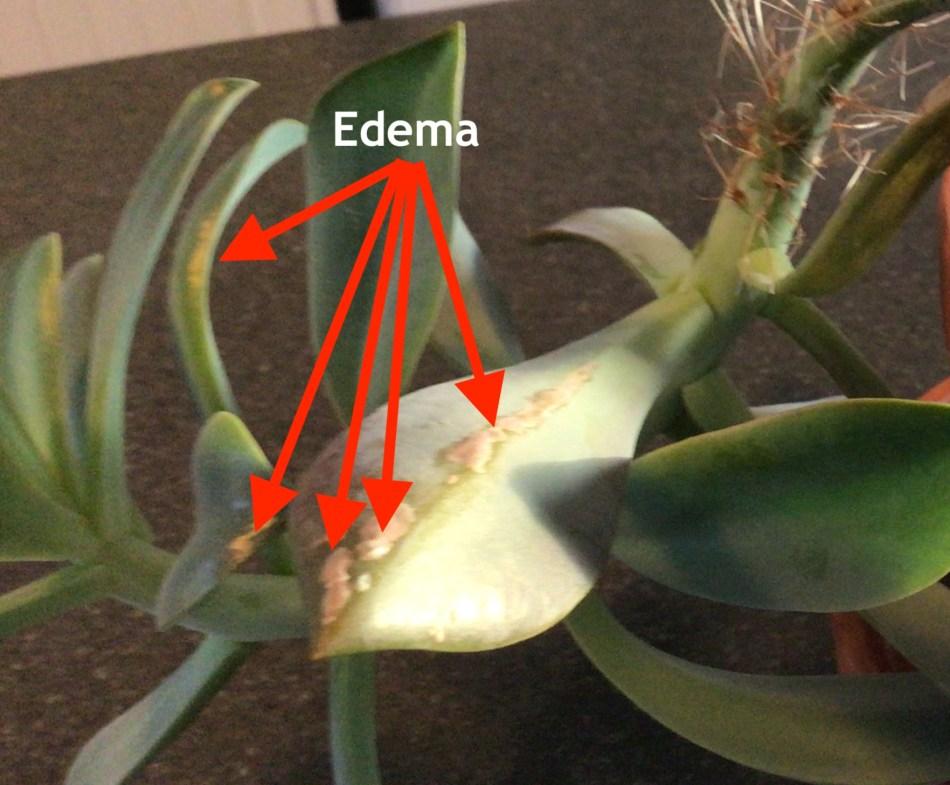 Echeveria leaves with edema