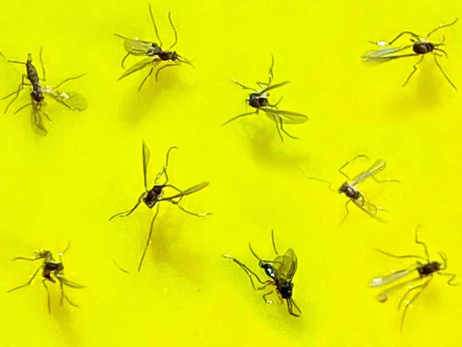 Fungus gnats stuck to a sticky trap