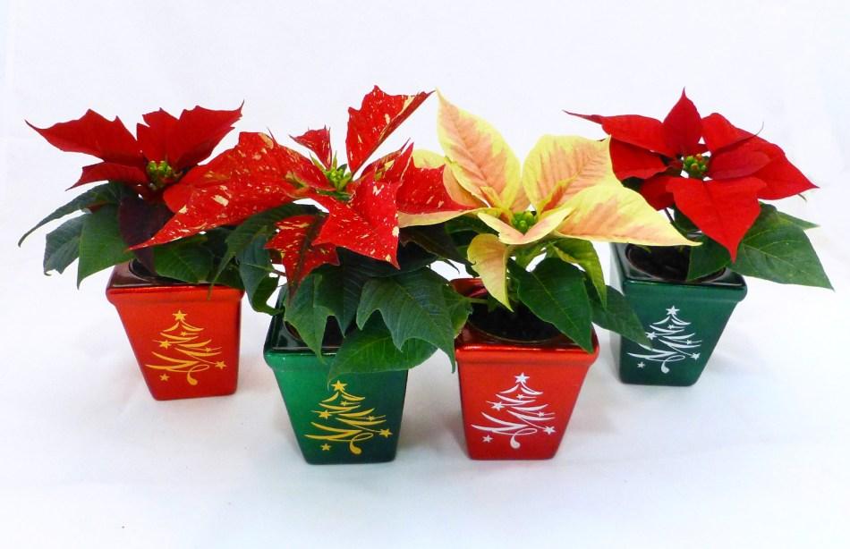4 mini-poinsettias in decorative pots.