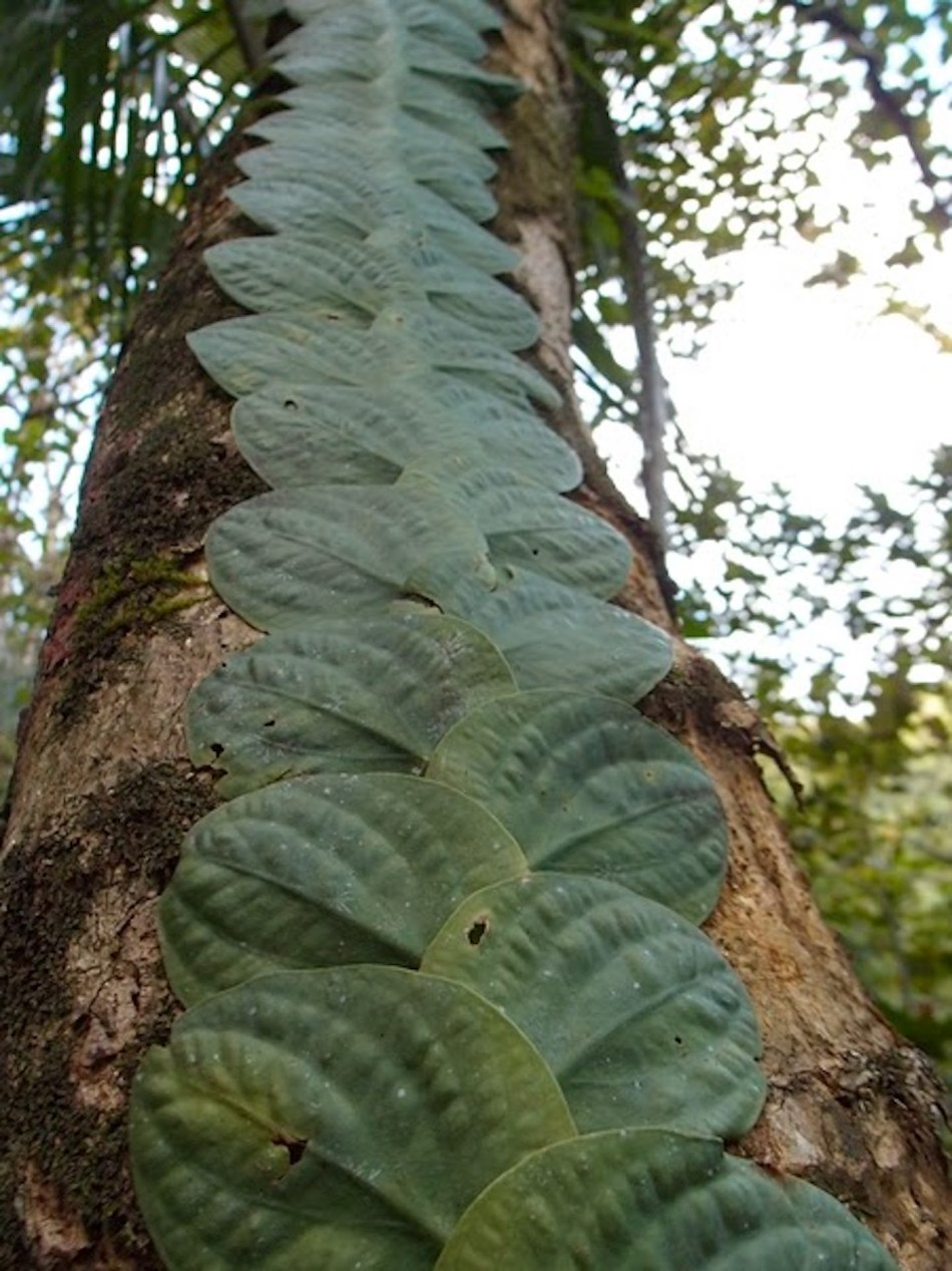 Rhapidophora growing flat against a trunk as a shingle plant.