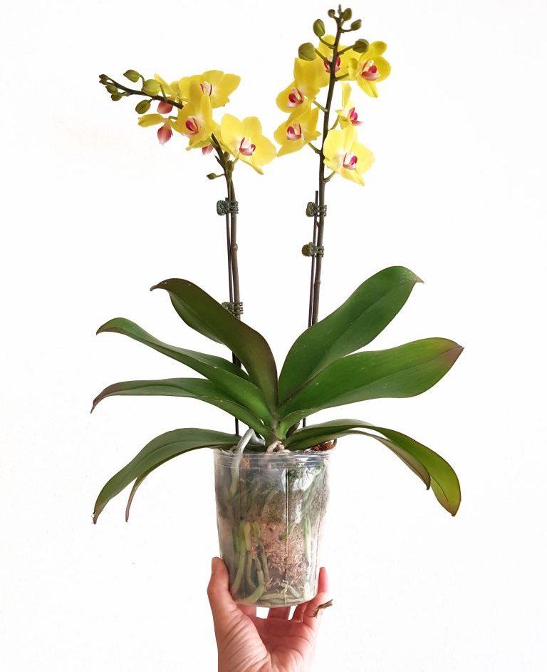 Orchid in a transparent culture pot.