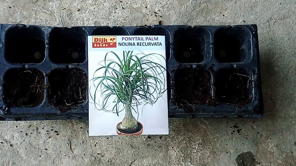 Pack of beacarnea seeds with seed tray