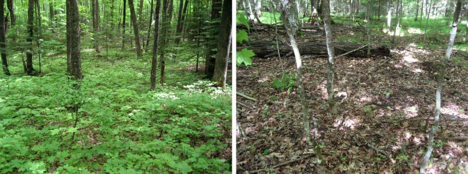 Forest free of earthworms with abundant forest plant and a forest invaded by eathworms and largely barren.