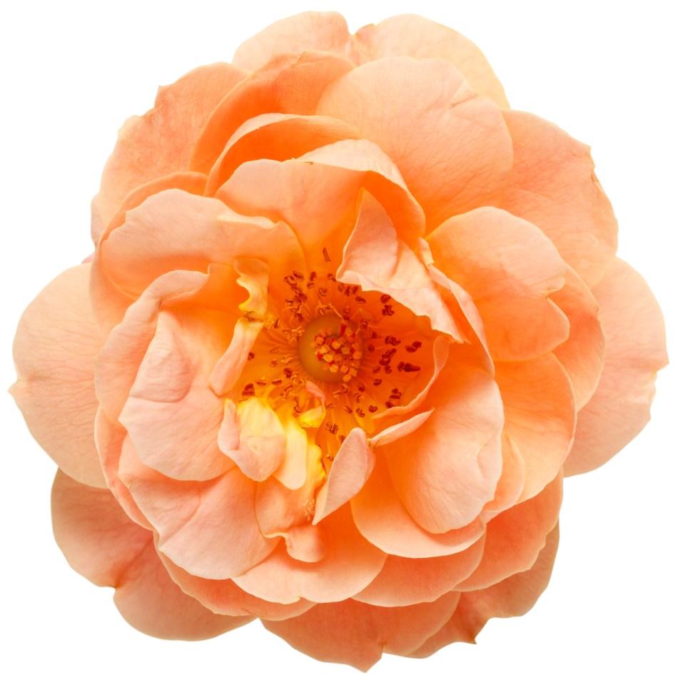 Single double orange flower of At Last rose