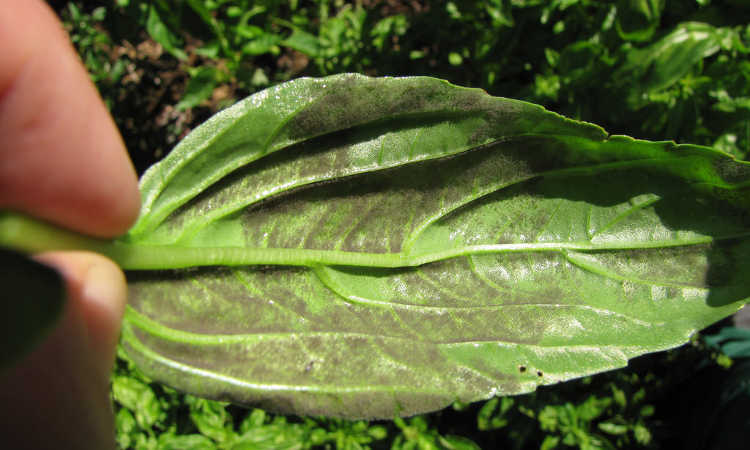 Green basil leaf with gray moldy growth on underside.
