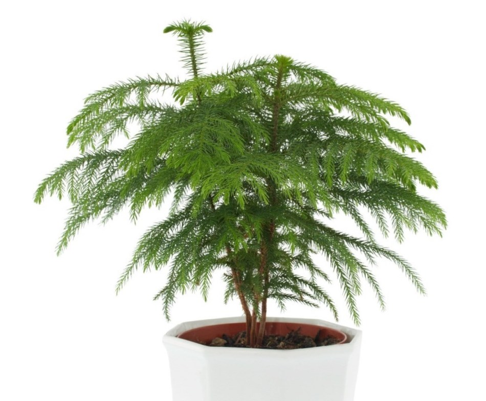 3 young Norfolk Island pines with green needles in white pot, white background.